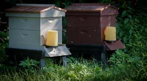 Honey Bee Orchard  Hives